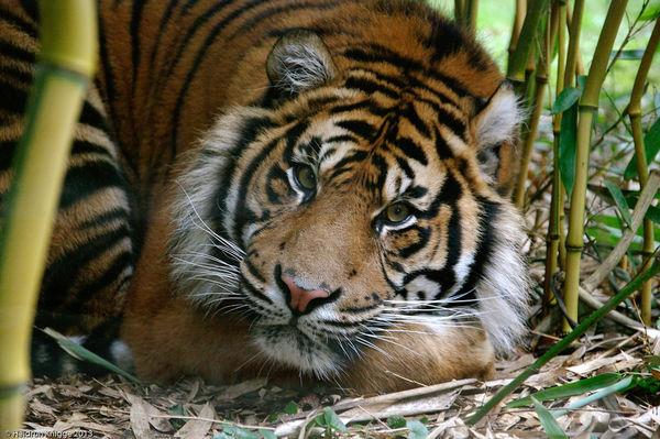 Tiger Asim im Zoo Heidelberg