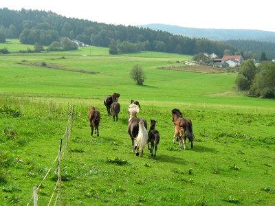 Pferde auf der Weide beim Islandpferdehof Sonnenwald
