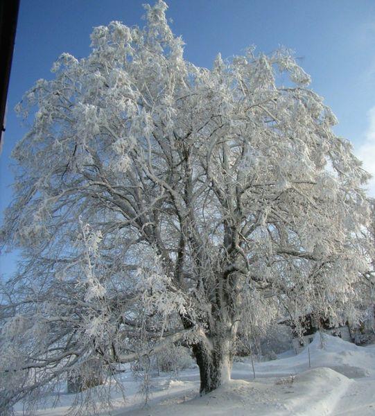 Das Naturdenkmal Winterlinde Haunstein bei Schöfweg in der Region Sonnenwald