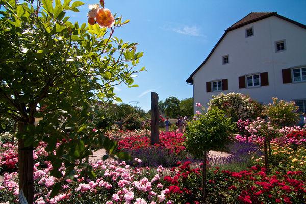 Rosensortimentsgarten in Nöggenschwiel