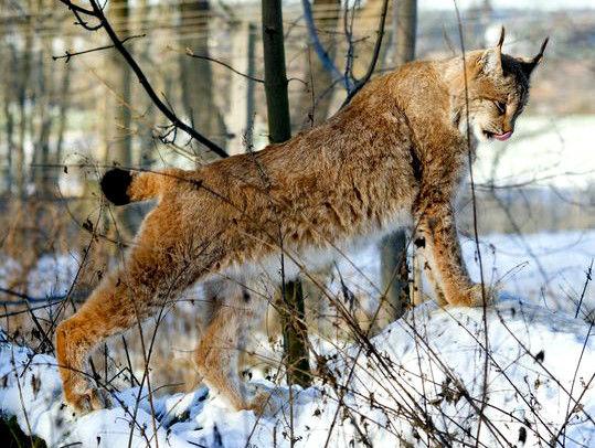 Luchs im Wildkatzen- und Luchsgehege des Umweltzentrums Schloss Wiesenfelden