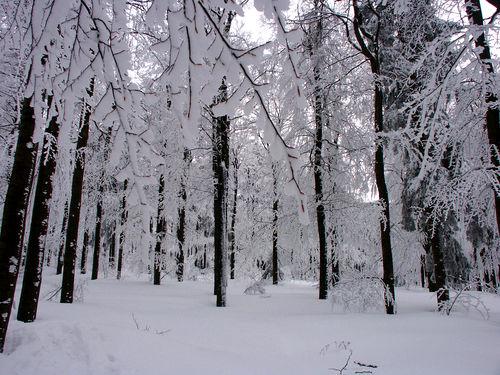 Buchenwald im Winter bei Achslach im Bayerischen Wald
