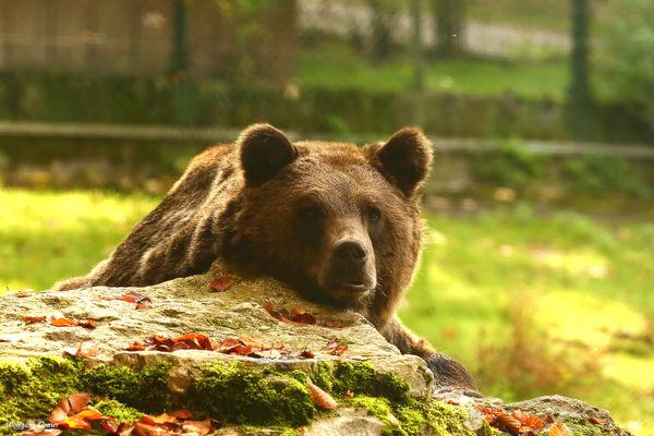 Wild-und FreizeitparkAllensbach_Bär