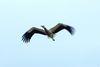 Storch im Anflug auf Rathsdorf/Altgaul