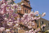 Kirschblüte vor Schloss Johannisburg