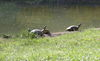 Mehrere Schildkröten Kurpark
