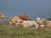 Ein Teil der artgerecht gehaltenen Kühe