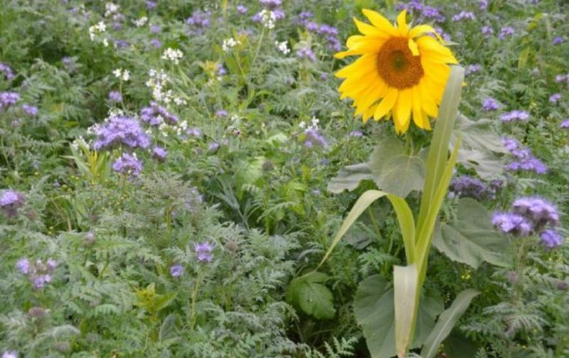 Mischung Sonnenblume, Phacelia, Ramtillkraut, Sudangras