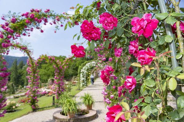 Der Rosenneuheitengarten