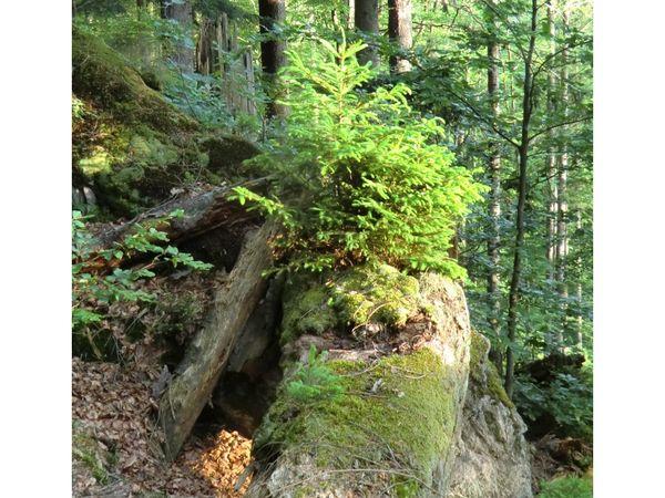 Ein neuer Wald entsteht am Urwaldsteig bei Bayerisch Eisenstein