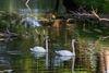 Schwäne auf der Spree, Foto: Seenland Oder-Spree/Florian Läufer