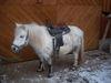 Pony mit Sattel
