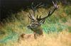 Ein prächtiger Hirsch im Wildpark Buchet bei Bernried im Naturpark Bayerischer Wald