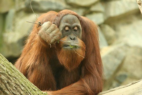 Orang-Utan im Zoo Neunkirchen