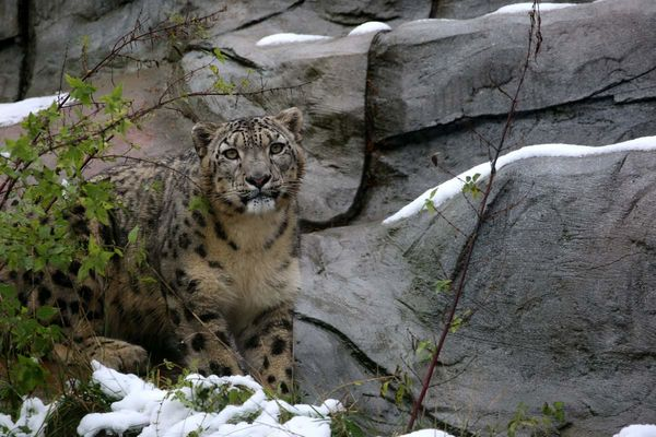 Schneeleopard im Neunkircher Zoo
