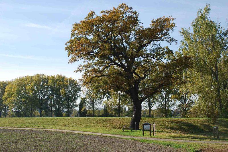 Der alte Eichbaum