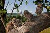 Steinkäuze im Biosphärenreservat Bliesgau