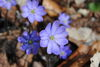 Leberblümchen im Frühling im Naturpark Märkische Schweiz, Foto: Dr. Erich Lorenzen