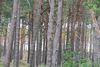 Der Kiefernwald, Foto: Seenland ODer-Spree