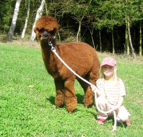 Kinderspaß mit den Lamas und Alpakas bei Chamerau im Bayerischen Wald