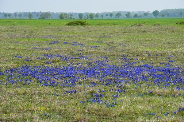 Enzianwiese in der Garchinger Heide bei Eching