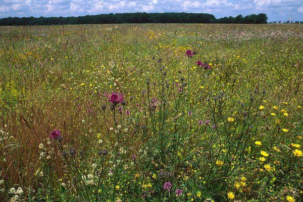 Heidevegetation in der Garchinger Heide bei Eching