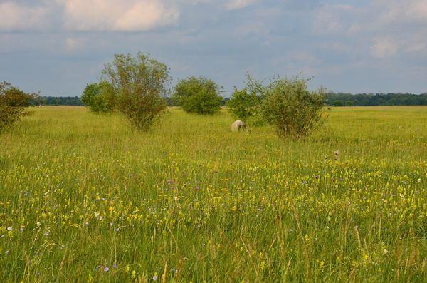 Garchinger Heide im Sommer