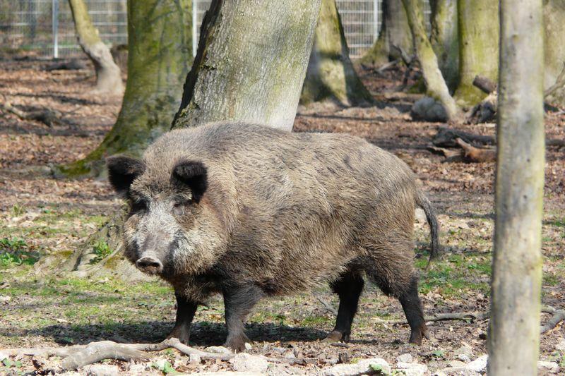 Wildschwein im Wildpark Wasserwerk Jägersburg