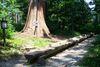 Mammutbaum in Ellenberg