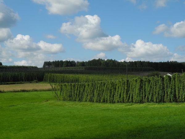 Hopfengärten im Hopfenland Hallertau