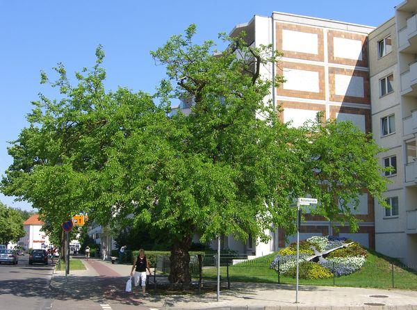 Maulbeerbaum und Blumenuhr in Erkner, Foto: Stadt Erkner