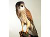 Präparat eines Falken im Jagdmuseum auf Burg Falkenstein