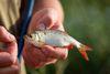 Rotfeder Weißfisch, Foto: Florian Läufer