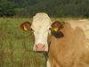 Kuh des Hofes