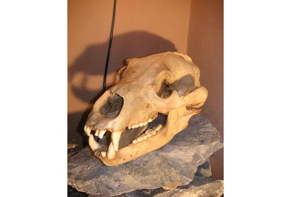 Schädel im Frasdorfer Höhlenmuseum