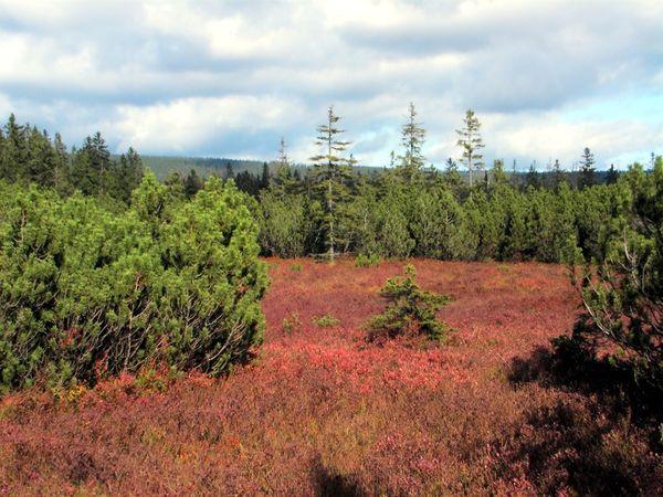 Blick auf den Latschenfilz mit farbenprächtiger Vegetation im Nationalpark Bayerischer Wald