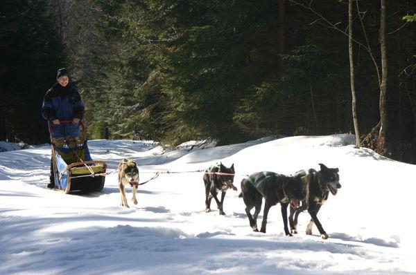 Huskys im Winterwald bei Frauenau im Bayerischen Wald