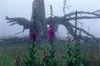 Der Fingerhut gehört zur Vegetation am Verlorenen Schachten