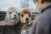 Alpakas im Naturwildpark Freisen