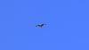 Greifvogel hoch über dem Forchenkopf