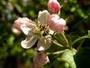 Biene befruchtet die Blüte auf dem Bienenerlebnisweg in Freyung