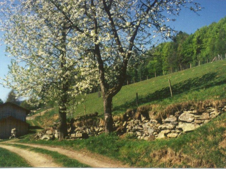 Apfelblüten im Frühjahr bei Gotteszell im Feriengebiet Teisnachtal - Bayerischer Wald