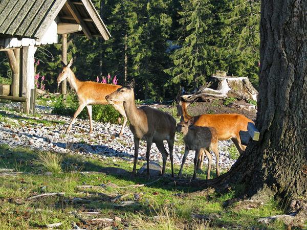 Rotwild  im Wildgehege am Kaltenbronn