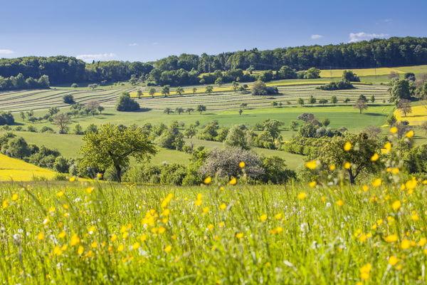Streuobstwiesen im Frühjahr in der Gemeinde Gersheim
