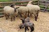 Vieh- und Krammarkt am Gösselkirmes Donnerstag
