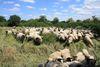 Schafe in der Westerschledde