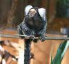 Weißbüschelaffe im Tierpark Göppingen
