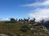 Steinböcke beim Aussichtspunkt Furggen