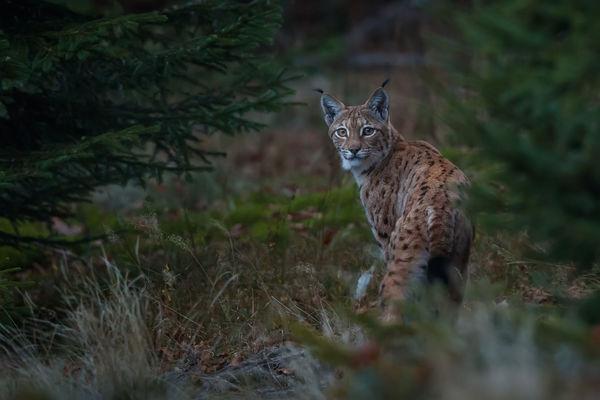 Luchs im Tierfreigelände Nationalpark Bayerischer Wald