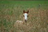 Fohlen im Gras
